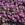 Vinca: Catharanthus Roseus, 'Cora® Deep Lavender'