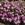 Vinca: Catharanthus Roseus, 'Cora® Lavender'