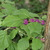 Beauty_berry.small