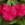 Vinca: Catharanthus Roseus, 'Cora® Punch'