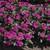 Vinca: Catharanthus Roseus, 'Cora® Violet'