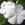 Vinca: Catharanthus Roseus, 'Cora® White'