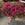 Vinca: Catharanthus Roseus, 'Cora® Cascade™ Cherry'
