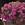 Vinca: Catharanthus Roseus, 'Cora® Cascade™ Lilac'