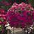 Vinca: Catharanthus Roseus, 'Cora® Cascade™ Magenta'