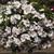 Vinca: Catharanthus Roseus, 'Cora® Cascade™ Peach Blush'