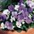 Violas: Viola Cornuta, 'Penny™ Azure Twilight'