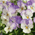 Violas: Viola Cornuta, 'Penny™ Azure Wing'