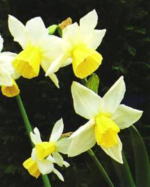 Daffodil, Triandrus 'Tuesday's Child'