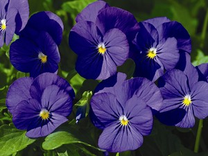Violas_Viola_Cornuta_Penny_TM_Blue-1.medium.jpg