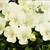 Violas: Viola Cornuta, 'Penny™ Cream'