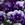 Violas: Viola Cornuta, 'Penny™ Lavender Shades'