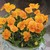 Violas: Viola Cornuta, 'Penny™ Orange'
