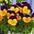 Violas: Viola Cornuta, 'Penny™ Orange Jump Up'