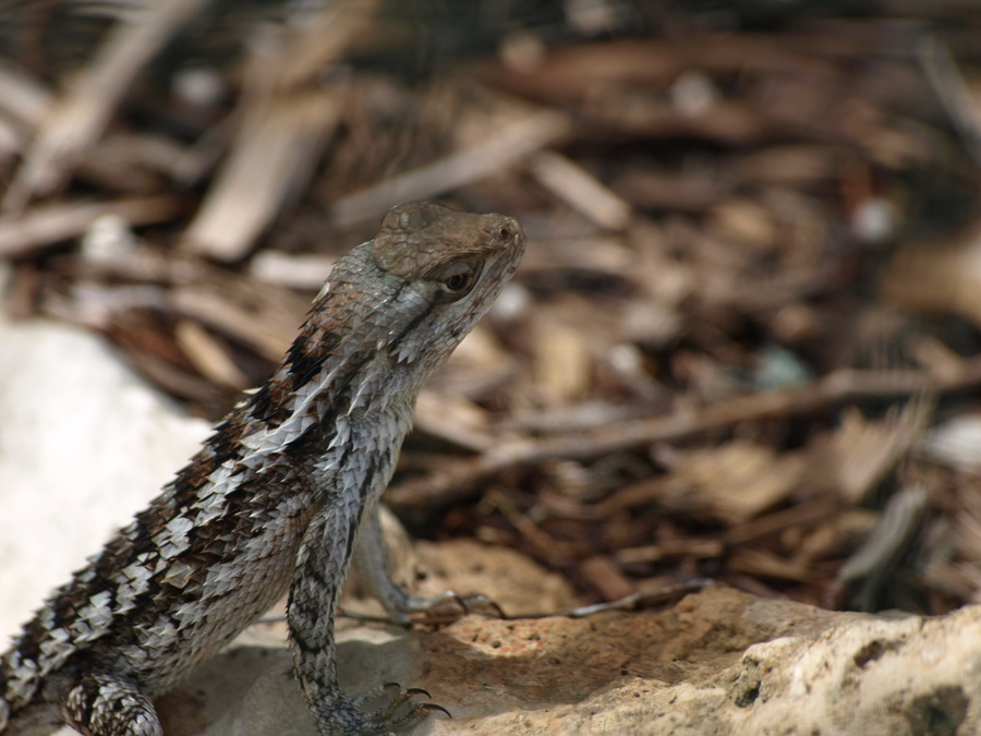 Fence_lizard.full