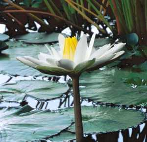 Water Lily, Night Blooming Tropical 'Wood's White Knight'