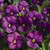 Violas: Viola Cornuta, 'Penny™ Orchid'