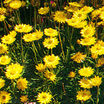 Strawflower, 'Golden Beauty'®'