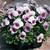 Violas: Viola Cornuta, 'Penny™ Orchid Frost'