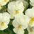 Violas: Viola Cornuta, 'Penny™ Primrose'