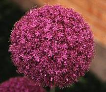 Allium, Ornamental giganteum