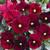 Violas: Viola Cornuta, 'Penny™ Red Blotch'