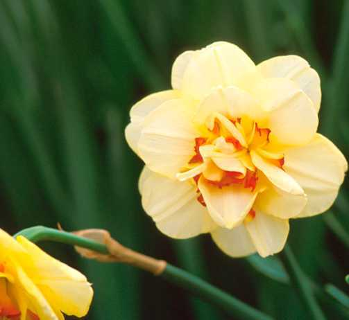 Daffodils_and_narcissus_narcissus_double_tahiti-2.full