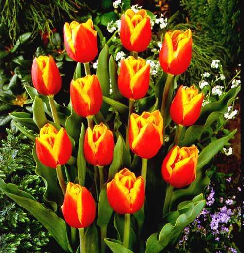 Tulips_tulipa_kees_nelis-1.full
