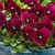 Violas: Viola Cornuta, 'Penny™ Rose Blotch'
