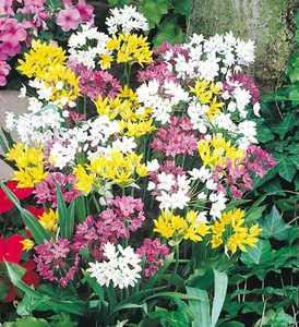 Allium, Ornamental Flowering