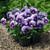 Violas: Viola Cornuta, 'Penny™ Violet Beacon'