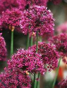 Alliums_allium_hollandicum_purple_sensation-1.full