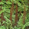 Fern, Royal