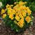 Violas: Viola Cornuta, 'Penny™ Yellow'