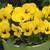 Violas: Viola Cornuta, 'Penny™ Yellow Blotch'