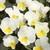 Violas: Viola Cornuta, 'Penny™ Yellow Frost'