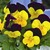 Violas: Viola Cornuta, 'Penny™ Yellow Jump Up'