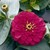 Zinnias: Zinnia elegans 'Magellan™ Cherry'