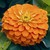 Zinnias: Zinnia elegans 'Magellan™ Orange'