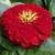 Zinnias: Zinnia elegans 'Magellan™ Scarlet'