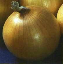Onion, Intermediate Day 'Cimarron'