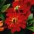 Zinnias: Zinnia elegans 'Short Stuff™ Deep Red'