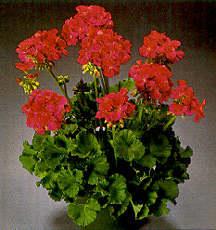 Geranium, Zonal 'Veronica'