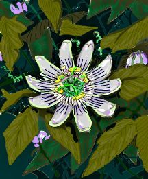 Passionflower, Hardy 'Blue Crown'