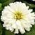 Zinnias: Zinnia elegans 'Short Stuff™ White'
