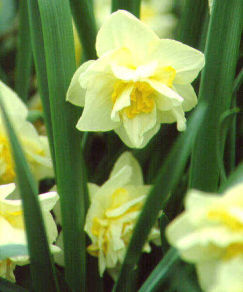 Daffodils_and_narcissus_narcissus_white_lion-1.full