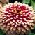Zinnias: Zinnia elegans 'Swizzle™ Cherry & Ivory'