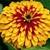Zinnias: Zinnia elegans 'Swizzle™ Scarlet & Yellow'