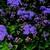 Annuals: Ageratum houstonianum 'Fields™ Blue'