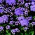 Annuals: Ageratum houstonianum 'Tycoon™ Blue'